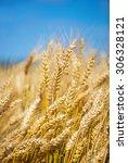 golden  ripe wheat against blue ...   Shutterstock . vector #306328121