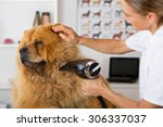 Stock photo canine hairdresser in a beauty clinic with chow chow 306337037