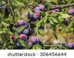 Plum Tree With Juicy Fruits On...
