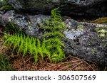 Small photo of alpine woodsia, fern plant in front of a stone