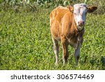 Calf Summer Green Grass