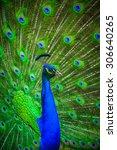 portrait of beautiful peacock... | Shutterstock . vector #306640265