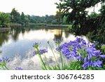 Purple Agapanthus Flowers...
