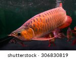 Small photo of Arowana fish,name in thailand is bplaa mang-gon,a beautiful color In aquarium