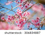 pink cherry blossoms against a... | Shutterstock . vector #306834887