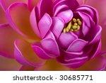 Beautiful Pink Lotus Flower...