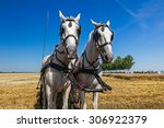 Pair Of Grey Draft Horses Is...