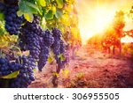 vineyard with ripe grapes in...
