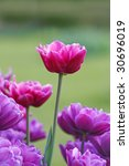 pink and violet tulips - stock photo