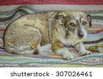 scarred little dog sitting on a ... | Shutterstock . vector #307026461