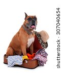 Beautiful Boxer Dog In Suitcase ...
