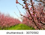 Rows Of Blooming Peach Trees I...