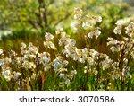 Wildflowers Wild Campions...
