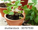 Clay starter pots with young strawberry plants ready for the garden.  Macro with extremely shallow dof. - stock photo