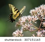 Eastern Tiger Swallowtail On A...
