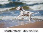 Happy Dalmatian Puppy On The...