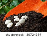 Orange garden spade with organic potting soil and lima bean seeds.  Macro with shallow dof.  Focus on the beans. - stock photo