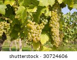 bunch of ripe grapes on... | Shutterstock . vector #30724606