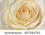 close up of white rose | Shutterstock . vector #307263791
