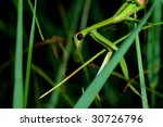 Mantis waiting - stock photo