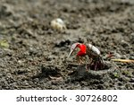 Fiddler crab out of the cave - stock photo