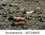 Fiddler crab walk on the beach - stock photo
