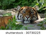 Tiger Resting His Head On A...