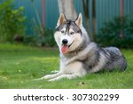 Siberian Husky. The Siberian...