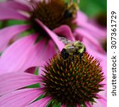 Honeybee And Coneflower Detail