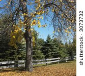 Small photo of American Beech tree in Fall color in fenced in pasture.