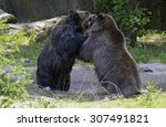 Two Grizzly Bears In Battle