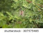 Garden Spider  Argiope Auranti...