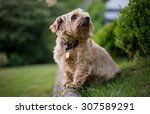 Norfolk Terrier Looking...