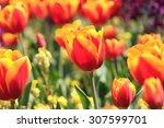 tulip | Shutterstock . vector #307599701