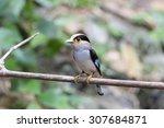 silver breasted broadbill bird... | Shutterstock . vector #307684871