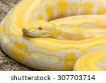 Gold Python Reticulated Python  ...