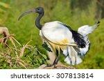 australian white ibis | Shutterstock . vector #307813814