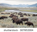 A Herd Of Bison  Buffalo ...