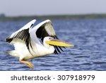 great pelican   pelecanus...   Shutterstock . vector #307918979