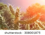 Cactus Thorn In The Morning Sun