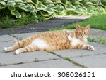Stock photo brown cat looking straight to the camera big cat relaxing in the street funny lazy cat 308026151