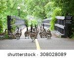Ducks In The City. Wild Birds...