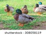 Group Of Male Wood Duck ...