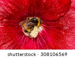Bumblebee  Covered With Pollen...