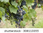 grapes | Shutterstock . vector #308113355
