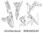 Set Of Sketched Tulips