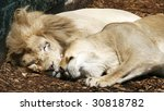 male and female white lions snuggling - stock photo