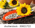 Orange garden spade with sunflower seeds ready to plant.  Clay pots and sunflowers in the background.  Macro with shallow dof. - stock photo