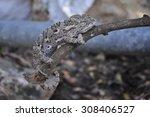 a dried chameleon climbing a... | Shutterstock . vector #308406527