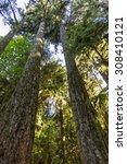 Giant Douglas Fir Trees Reach...